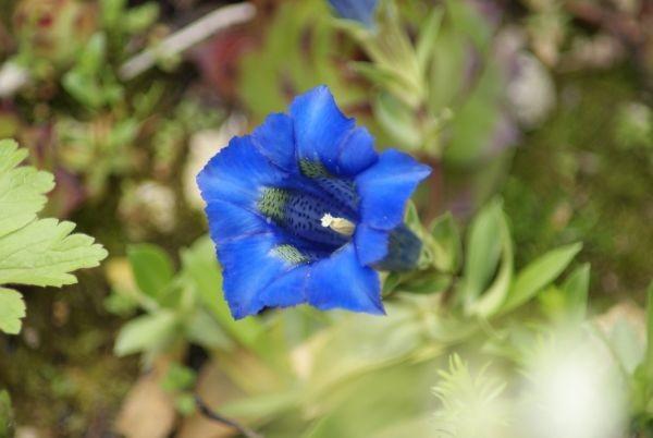 Rośliny, Nowe roślinki :-) - Goryczka