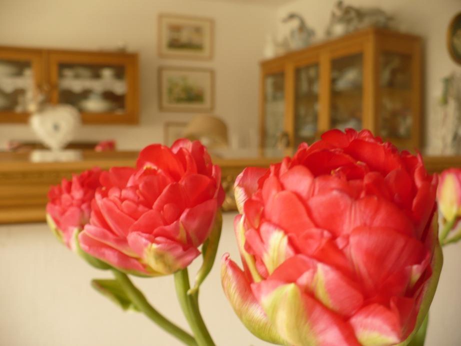 Pozostałe, Kwietniowa..... wiosenna .....galeria............ - .................i tulipany , niczym piwonie....................