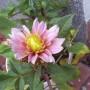 Pozostałe, Jesień w moim ogrodzie/tarasie - Dalia Claudette