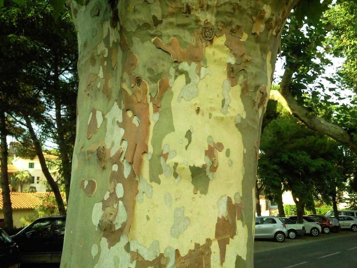 Rośliny, Kraina zmysłowości - Francja - W cieniu drzew …o korze w odcieniach moro