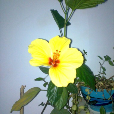 a w domku zakwitł hibiskus