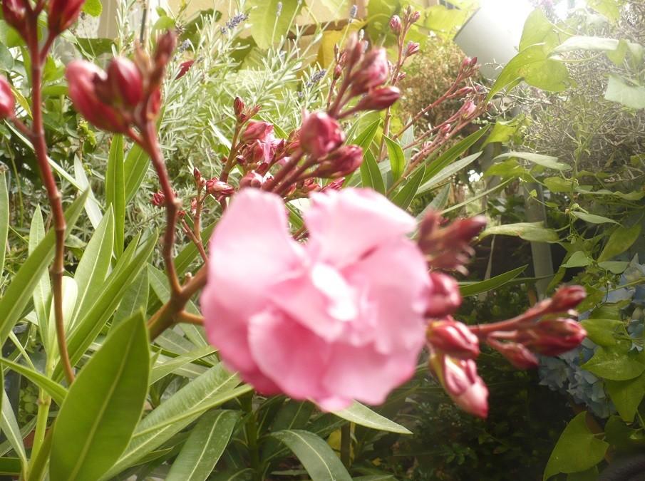 Pozostałe, Galeria jesienna.................październikowa............. - .................i oleandry.................