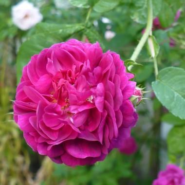 ...............i róża na konfiturę z płatków róż...................