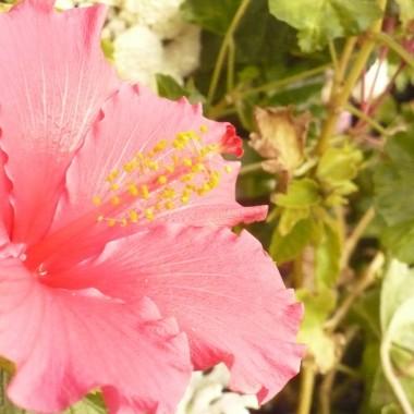 ..............i hibiskus jeszcze kwitnie i rozwija kolejne pąki ...................chociaż nocki już zimne...........