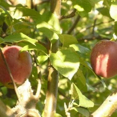 ...................i jabłka..................