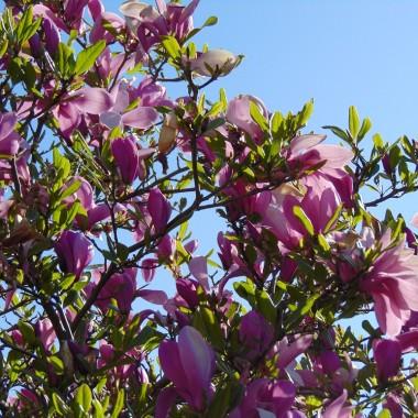 .................i magnolia amarantowa w pełni kwitnienia...............