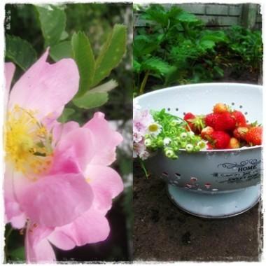 Mój  ekologiczny mini warzywnik i róże -  też moje &#x3B;