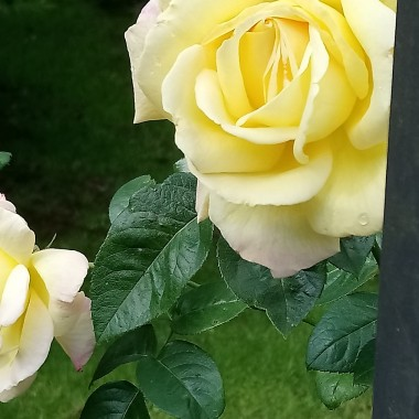 ................i róża herbaciana.............