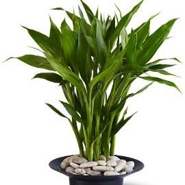 lotus bamboo-przypomniane przez Pieguska:)