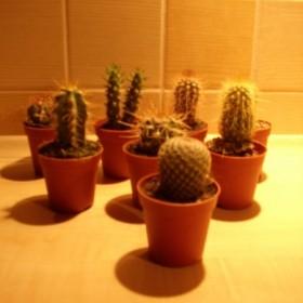 Kaktusy i kota