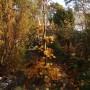 Ogród, Złoto w ogrodzie - upadły klon