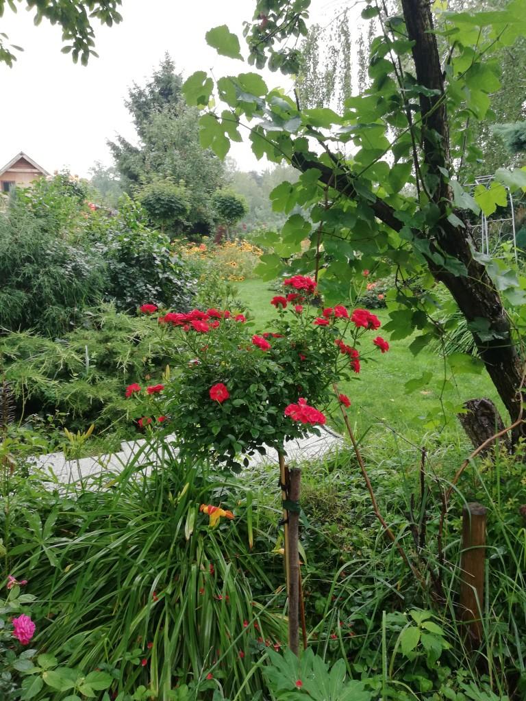 Rośliny, Róże w ogrodzie - Lubię róże. Poza kolorem wnoszą  do naszego ogrodu aromat. Mogę na nie patrzeć , wąchać je  i ustawiać w wazonie. Są  moimi ulubionymi kwiatami.