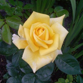 Pani Róża
