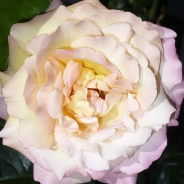 ..............i najpiękniejsza róża w ogrodzie...................
