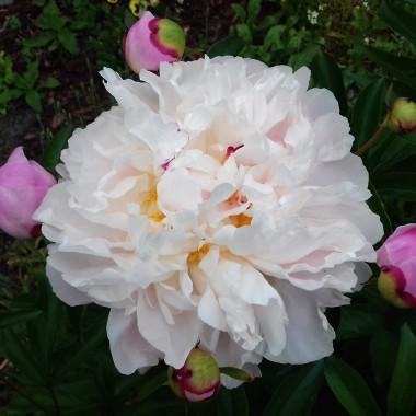 Słodką mają woń- piwonie.Piękną noszą szatę- piwonie.Puszą się w słońcu- piwonie.Chwili zawierzają- piwonie&#x3B;Powabem płatkówkuszą żuczki,gdyż delikatne sąto dla nich kołderki...Cudowne są w pąkachi wazonie kwiaty,które kochamza piwoniowe powaby...- Aleksandra Baltissen