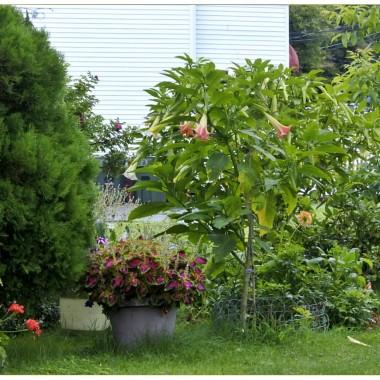 Na kilku profilach zapowiadano dzisiaj ...koniec lata. Zbyt szybko,moi drodzy. Wprawdzie jarzębina wystroiła się już w  pomarańczowe  korale,ale kolorowe kwiaty lata dalej  zachwycają ..Ta pora roku jest szczególnie optymistyczna ,przynajmniej dla mnie.Na łąkach trawy i osty ,w lasach zielono,polne kwiaty dalej przyciągają mój wzrok i zachęcają do spacerów .  W ogrodzie..po drodze...datury,aksamitki..lilie .Lato trwaj!Pozdrawiam z Webster.