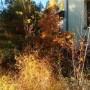Ogród, Złoto w ogrodzie - młody perukowiec i tzw asparagus  czyli  szparagi