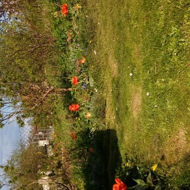 Majowy ogród trzy dni po opadach śniegu i mrozu.