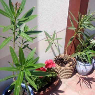 moje biedne oleandry bardzo mi zmarniały tej zimy...przytnę je dopiero na jesień, bo mi szkoda kwiatów...a może jeszcze się zabiorą ?