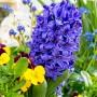 Ogród, Te rośliny to balkonowy hit na wiosnę - Hiacynt, niezapominajki i bratki.