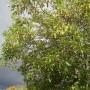 Rośliny, Jesienna galeria ...............z bombkami..... - .................i orzech wiatrem kołysany ......................zaraz będzie deszcz.................