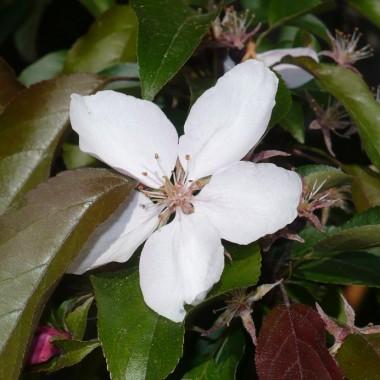 .............i rajska jabłoń ..............kwitnąca..........