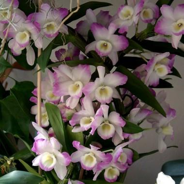 Moje kwiaty w domu i na balkonie