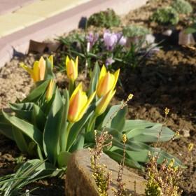 tulipanowo czas zacząć
