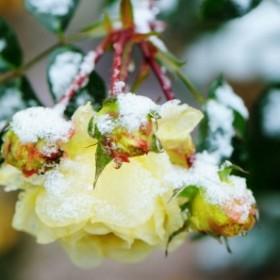 Jak zabezpieczyć róże przed nadchodzącą zimą?