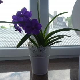 Storczyk Vanda