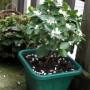 Rośliny, Przywolywanie wiosny :) - Moja mandarynka :)