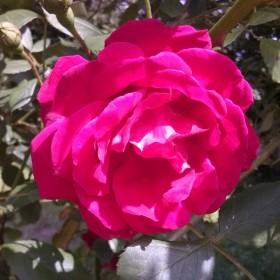 Zaczęły kwitnąć róże :)