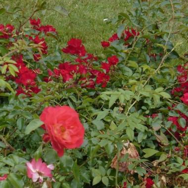 ..............i róże..................