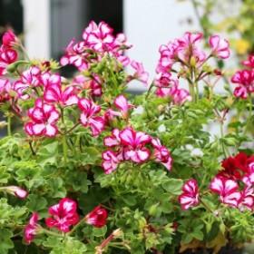 Kwiaty na tarasie. Jak je pielęgnować?