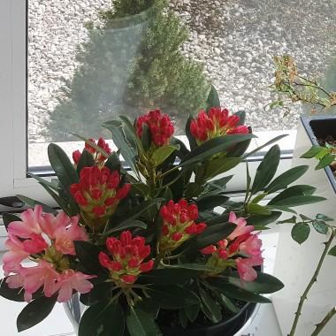 Witajcie ,dzisiaj rozwinęły się moje 2 rododendrony kupione miesiąc temu w Biedronce ... róże kwitną już od dłuższego czasu ,bez niestety przekwitł.Oczywiście kwiaty kwitną dzięki temu, że trzymam je w ogrodzie zimowym ,ale dają mi wiele radości , pozdrawiam i zapraszam do oglądania... na zewnątrz zaczynają kwitnąć magnolie