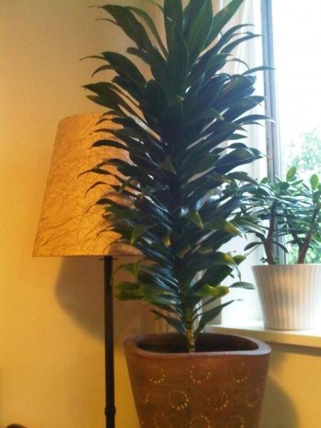 Rośliny, Rosliny w domu - Dracena. Rozrasta sie niesamowicie.