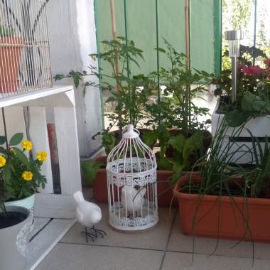 """Najlepsze pomidorki koktajlowe na świecie rosną... na naszym balkonie - tak przynajmniej twierdzą moje dzieci :) Każdego roku, gdy przychodzi wiosna, dzieci pytają """"Kiedy posadzimy pomidorki?"""", a gdy już je posadzimy, każdego dnia pada pytanie """"Kiedy urosną?"""". Aby urosły pyszne i zdrowe codziennie je """"doglądamy"""", podlewamy czystą wodą (nie używamy nawozów ani oprysków) i czule do nich mówimy &#x3B;) Krucha sałata i szczypiorek z naszego balkonu są niezastąpione na śniadaniowych kanapkach Jasia i Gabrysi :) W tym roku oprócz ww. pomidorków, sałaty i szczypiorku posadziliśmy też cebulę oraz zioła: laur, miętę, melisę cytrynową i rozmaryn. Jest to dowód na to, że na małym balkonie w centrum miasta też można uprawiać """"bomby witaminowe""""."""