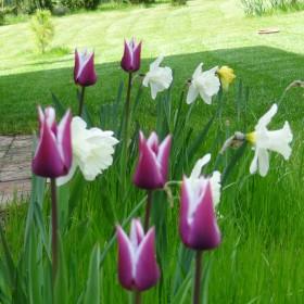 Moje nowe tulipanki i nie tylko