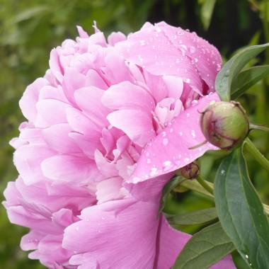 Czerwcowe kwiaty w domu i w ogrodzie ................
