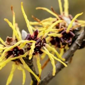 10 ozdobnych roślin, które kwitną zimą