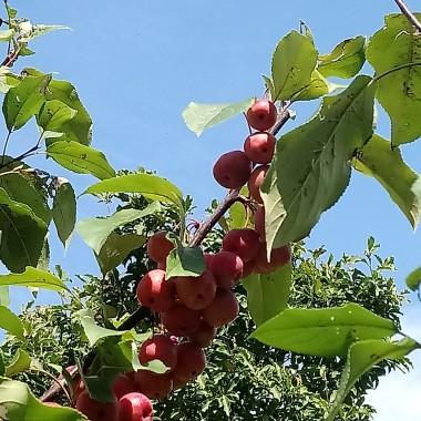 .......................i jabłuszka..............
