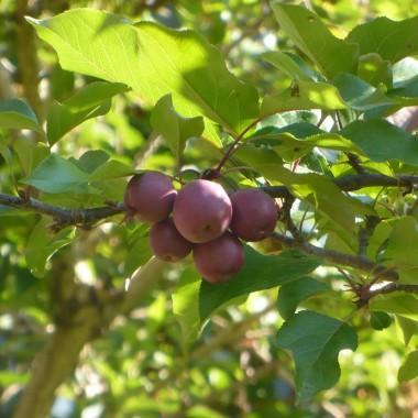 .............i rajskie jabłuszka...............