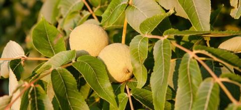 Orzech włoski: Uprawa, zbiór, przechowywanie owoców