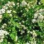 Rośliny, Czerwcowe róże ................. - ..............i drobne różyczki pachnące.............