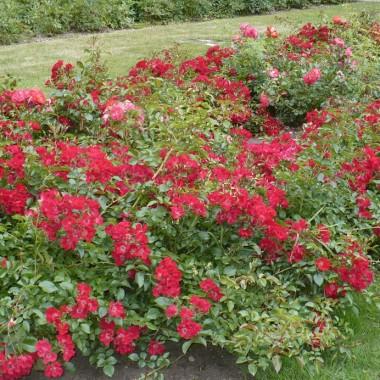 ...............i róże..............