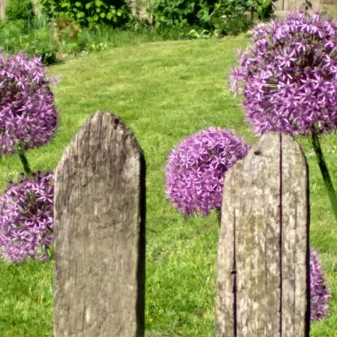 Po tulipanach przyszedł czas irysów, czosnków i czarnego bzu.