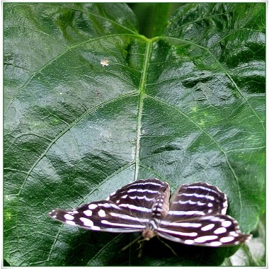 Heliconius charitonia (Zebra Logwing)
