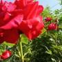 Rośliny, Czerwcowe róże ................. - ...............i róża szkarłatna.................