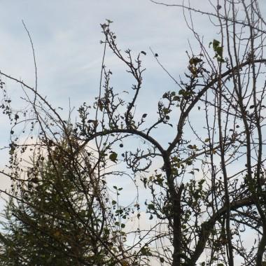 ............i grusza .............już prawie bez liści..............