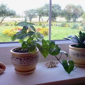 Moje parapetowe roslinki
